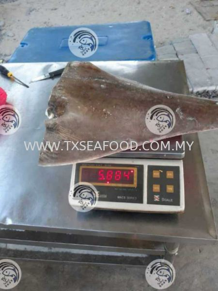 2kg up 龙文鲨头 AAA FROZEN FISH MEAT FROZEN FISH Selangor, Klang, Malaysia, Kuala Lumpur (KL) Supplier, Suppliers, Supply, Supplies | TX Seafood Enterprise