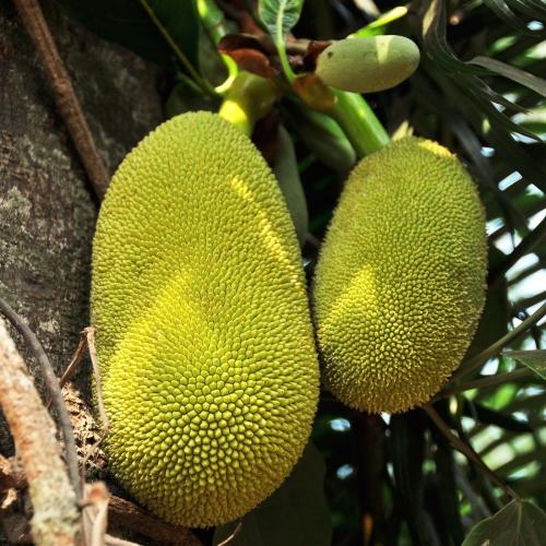 Jackfruit 菠萝蜜