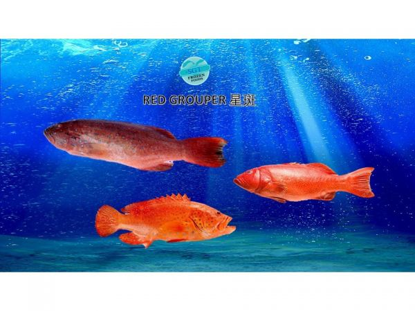 Red Grouper Fishes Frozen Seafood Selangor, Malaysia, Kuala Lumpur (KL), Puchong Supplier, Suppliers, Supply, Supplies   SGT Frozen Foods Sdn Bhd