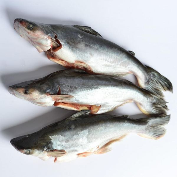 Patin Buah (Cleaned) Fishes Frozen Seafood Selangor, Malaysia, Kuala Lumpur (KL), Puchong Supplier, Suppliers, Supply, Supplies | SGT Frozen Foods Sdn Bhd