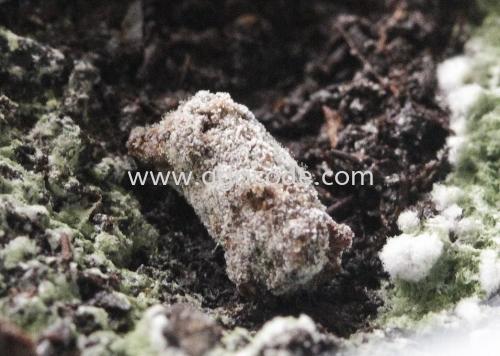 显微镜下的农马新型益菌/木霉菌