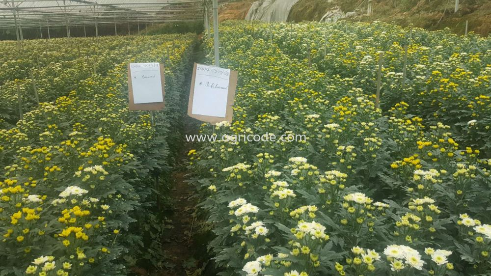 CHRYSANTHEMUM CONTINUOUS CROPPING OBSTACLE